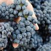 Amarone wine Leksikon 1.04