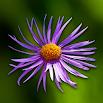 Wild flowers 2.9.2