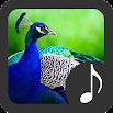 Peacock Sounds 3.1.5