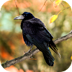 Crow Sounds 1.0