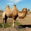 Camels Jigsaw Puzzles 2.10.9