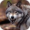 Wolf Wallpaper HD : backgrounds & themes 11.3