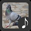 Pigeon Sounds 3.1.6